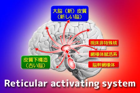 網様体賦活系・Reticular Activating System